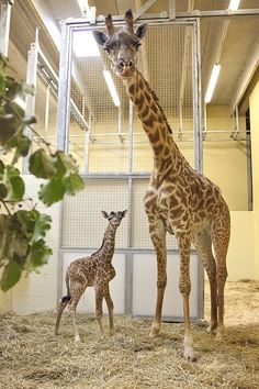 Mother Margarita and calf. Margarita the giraffe just gave birth to a female calf at the Nashville Zoo on Sunday, June 10.