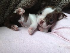 Boston Terrier puppy ::: Don't you just want to rub that little tummy. Love the patch of black eye. Puppies And Kitties, Cute Puppies, Cute Dogs, Doggies, Boston Terrier Love, Boston Terriers, Terrier Puppies, Bulldog Puppies, Pug Zu