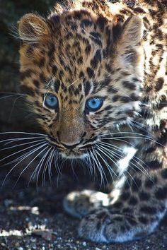 Amur Leopard Cub, loving the eyes!!