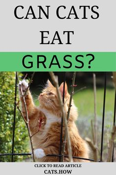 Can Cats Eat Grass? Most cats seem to have the habit of nibbling on these leaves but is this safe or not to do so? Find out here! I Love Cats, Cute Cats, Information About Cats, Cat Care Tips, Healthy Pets, All About Cats, Happy Animals, Cat Health, Pet Store