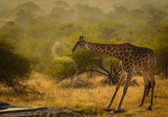 Giraffe Drinking Action Photo by Ahmed Dashti — National Geographic Your Shot