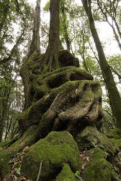 Ilex aquifolium, agrifoglio. Vecchio tronco contorto.