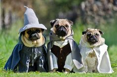The Pugs of Middle Earth