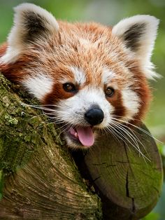 Red panda.. I'm sorry, is this not the cutest thing in the world?!