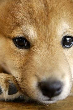 Shiba Inu (met one of these today - enchanting! Kittens And Puppies, Cute Puppies, Corgi Puppies, Chien Shiba Inu, Pet Dogs, Dog Cat, Doggies, Weiner Dogs, Animals And Pets