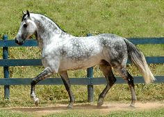 The dapple gray coat of this mature Mangalarga Marchador is becoming white, and the horse will eventually be completely white-haired.