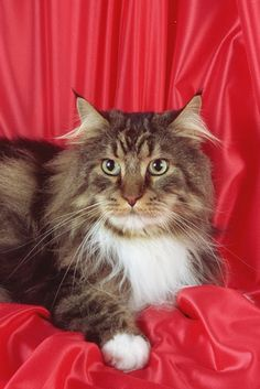 Cute Cats: Maine Coon Cats  Finally, one that looks like my Maizy.  However, Maizy has a much friendlier expression.  She is only vocal when she want to be fed and when she wants to play.  All other times she is a quiet, happy cat.  Daily brushing required.