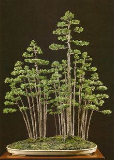 Ezo Spruce (Picea Glehnii) Bonsai Forest by Masahiko Kimura