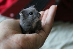 Blueberry Dwarf Hamster