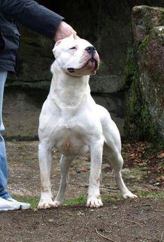 Dogo Argentino Mastiff Breeds, Dog Breeds, Hog Dog, Dog Cat, Dogo Argentino Dog, Bully Dog, Pitbulls, Rottweilers, Hunting Dogs