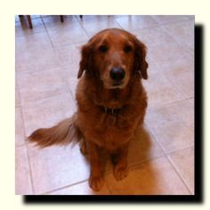 This is Abby - 8 yrs old. She is an owner surrender due to economic circumstances. She is spayed, microchipped, up to date with vaccinations, potty trained and she knows a few commands. Abby is looking for a forever home and will be available soon. She is at Dallas Fort Worth Metro Golden Retriever Rescue, TX.