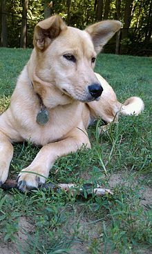 Carolina Dog. The size, appearance and behavior of the Carolina dogs also suggest they might be a relic of the first dogs to enter the Southeast region thousands of years ago. Early paintings and ancient rock art depict dogs with Native Americans that appear remarkably similar to the Carolinas.