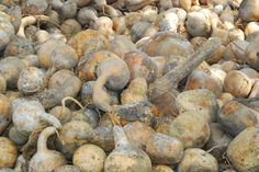 To get more gourds you must cut off the end of the vine when it reaches 10- 15 feet long. Gourds have male flowers that form on the main stem and female flowers that form on the side runner vines. The female flower is what is needed to produce the actual gourd.  Trimming produces more runner vines.