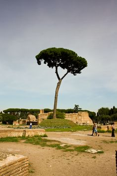 Tree in the Roman Forum (ROME)