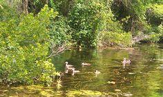 Ducks!  Wakulla River - Tallahassee, Florida