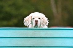 Monte making a showing at the top of the Agility A-frame. Monte is the only dog I know stops at the top of the A-frame and soaks it all in! Clumber Spaniel, Spaniels, Cavalier, Dog Life, Labrador, Frame, Dogs, Animals, Picture Frame