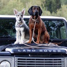 Morris and Frank #Swedishelkhound puppy #Bavarian #mountainhound #Defender #jämthund #bayerskviltspårhund