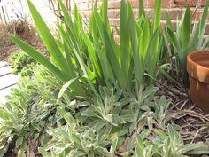 Iris and Stachys byzantina (Lamb's Ear)