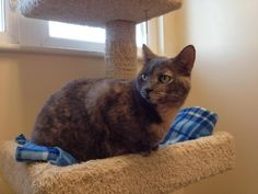 Kelly/Domestic Short Hair Mix • Adult • Female • Large North Country Animal League Morrisville, VT Kelly is about 3 years old and would like a cat free home, preferably with no young kids...