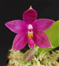 "Phal. Germaine Vincent<span class=""cross""> (violaceae 'Sumatran Red' x speciosa 'C1')</span>"