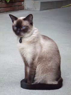 Siamese Cats - Posh - photo by Brenda R - remembering my first pet - Tika our Siamese cat. She was such a lovely cat. Miss her still after 44 years.
