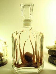 Qctopus Wet Specimen Positioned In Vintage by thecuriodditiescabin