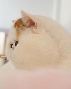 Persian cats and flat faced kitties (⸝⸝⸝ᵒ̴̶̷̥́ ⌑ ᵒ̴̶̷̣̥̀⸝⸝⸝) @snoopybabe https://instagram.com/p/BEcl_npOsDX/