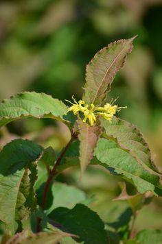 Diervilla lonicera (Dwarf Bush Honeysuckle - native, shade tolerant)