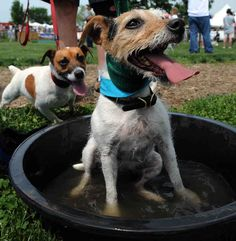 Jack Russell Terriers: you are THE GREATEST. | 19 Jack Russell Terriers Totally Defying The Laws Of Physics