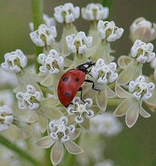 Search: Ladybirds on flowers All Gods Creatures, Sea Creatures, Bug Off, Beneficial Insects, Lucky Ladies, Black Spot, Lady In Red, Ladybird Ladybird, Daisy