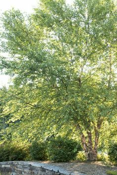 River Birch 40'-70' Tall 40'-60' Wide Deciduous No Blooms but hasPeeling Bark that adds winter interest Plant in Full Sun or Part Shade in Any soil in Wet or Dry conditions Growth Rate is Fast www.greenprintLED.com
