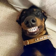 """Check out our website for additional info on """"dachshund puppies"""". It is actually an exceptional place for more information. Doberman Pinscher Dog, Doberman Dogs, Dachshund Puppies, Dachshund Love, Cute Dogs And Puppies, Dobermans, Cute Little Animals, Cute Funny Animals, Funny Animal Pictures"""