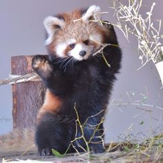 Red panda is cuteness overload