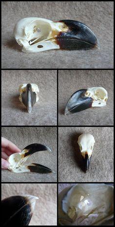 White-Necked Raven Skull by CabinetCuriosities.deviantart.com on @DeviantArt