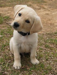 Mind Blowing Facts About Labrador Retrievers And Ideas. Amazing Facts About Labrador Retrievers And Ideas. Golden Retriever, Labrador Retriever Dog, Labrador Dogs, Beautiful Dogs, Cute Baby Animals, Dogs And Puppies, Doggies, Baby Puppies, Puggle Puppies