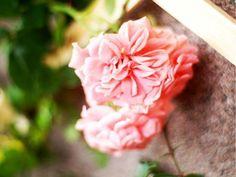 GPT Pink Meillandina ® Meilland // Meipin-Tarsar