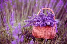 Festa della lavanda a Briansole. Ammirare la fioritura della lavanda in Provenza.