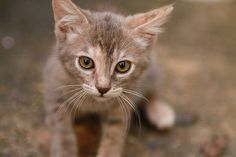 How to Foster Kittens. Fostering kittens is a wonderful and helpful thing to do. Your local animal shelter probably has small kittens in need of temporary homes before they are old enough to adopt. Small Kittens, Cute Cats And Kittens, Kittens Cutest, Foster Kittens, Filthy Animal, Image Cat, Animal Shelter, Animals And Pets, Kittens
