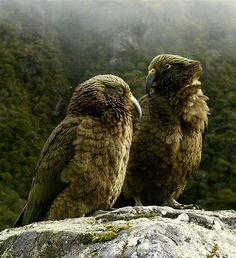 New Zealand Kea: alpine parrot, the Kea, frequents high mountain passes of the South Island. Photograph by Steve Reekie.