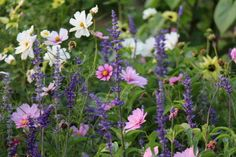 Cosmos and Salvias