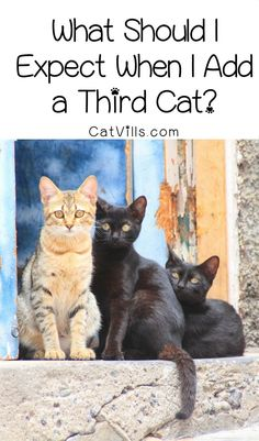 Wondering what you should expect when you add a third cat? Check out our guide to making sure all your kitties get along!