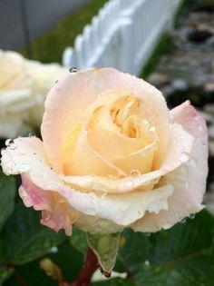 Капельки дождя на розе