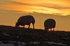 Door de zon getekende schapen - foto Hans Bax