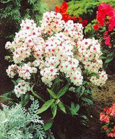 Illatos lángvirág fehér-piros