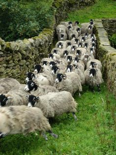 "pagewoman: "" Swaledale Sheep, Ravenseat, Swaledale, North Yorkshire, England by Amanda Owen "" Yorkshire Dales, Yorkshire England, North Yorkshire, Alpacas, Farm Animals, Cute Animals, Sheep And Lamb, The Good Shepherd, English Countryside"