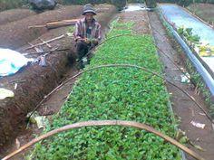 Pembibitan tanaman Lado kutu