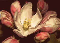 Fine Art Photography apple by VanillaExtinction on Etsy, $20.00