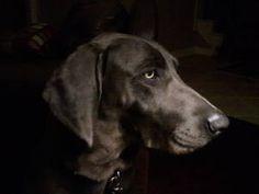 Blue Weimaraner; next big dog.
