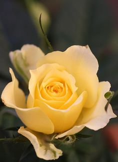 Yellow Rose - my dad gave my mom 1 of these for each year they were married on their anniversary - May 2013 was 52 years! So glad he made it to that milestone before we lost him. My Flower, Pretty Flowers, Yellow Roses, Red Roses, Parfum Rose, Every Rose, Rosa Rose, Coming Up Roses, Growing Roses