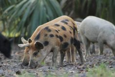 Wild Feral hogs in Glades County, Florida.